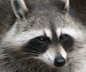 raccoon problem in pool - pool pest control